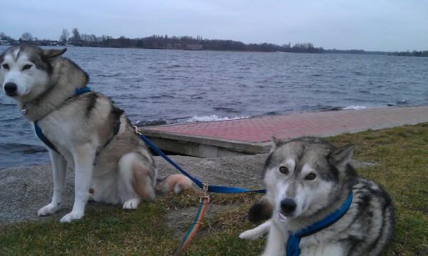 Geschwister Sally und Trick, sibirische Huskies