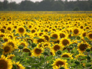Sonnenblumen - überall zu finden