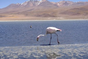 Flamingo an der Laguna Colorada