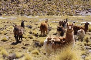 Lamas auf dem Weg nach Uyuni