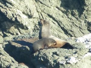 Neuseeland_Seals
