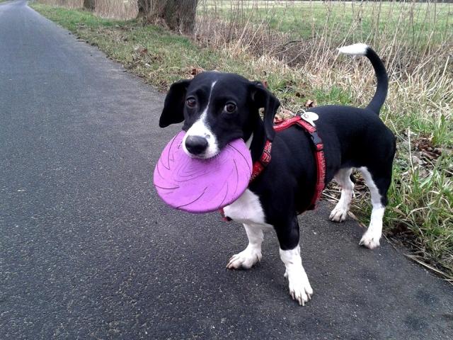 Hund-Frisbee