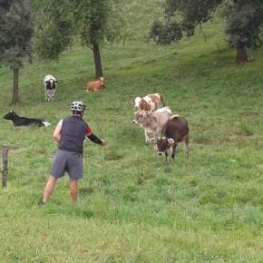 schüchterne Kühe
