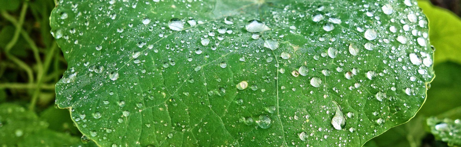 Ein Petunien-Blatt benötigt keine DWR Imprägnierung. Die Natur hat es mit einer wasserabweisenden Eigenschaft ausgestattet.