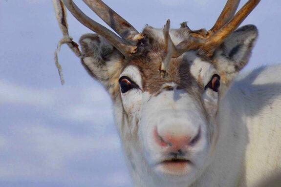 Rednose-Reindeer